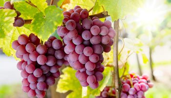 At Vinatis, we have many different grape varieties... which one are you looking for?
