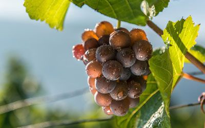 White wine grape - Gewurztraminer
