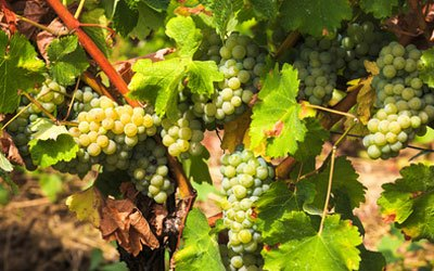 White wine grape - Riesling