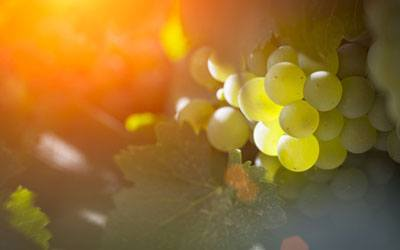 White wine grape - Sauvignon Blanc