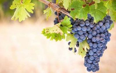 Red wine grape - Shiraz/Syrah