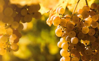 White wine grape - Viognier