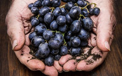 Red wine grape - Cabernet Sauvignon